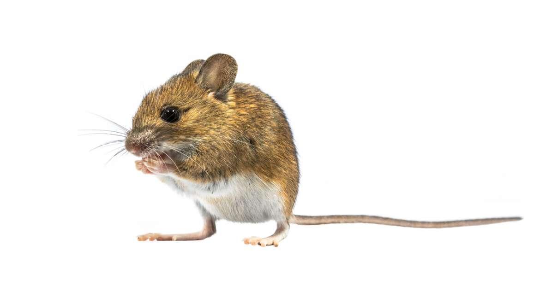 Estou com uma infestação de ratos no meu imóvel. E agora?